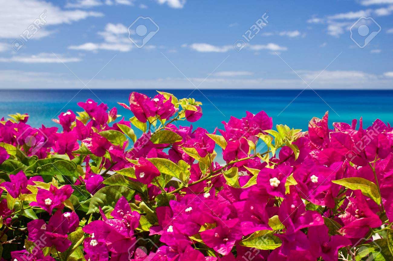 Bougainvillea in front of the sea and the blue sky - 80146487