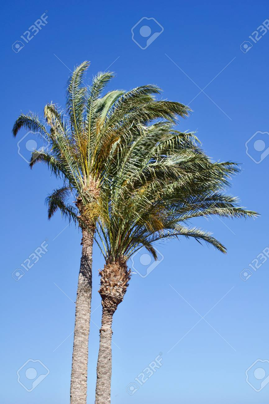 Two isolated date palm trees against blue sky with copyspace for text for example as background for a postcard - 83727116