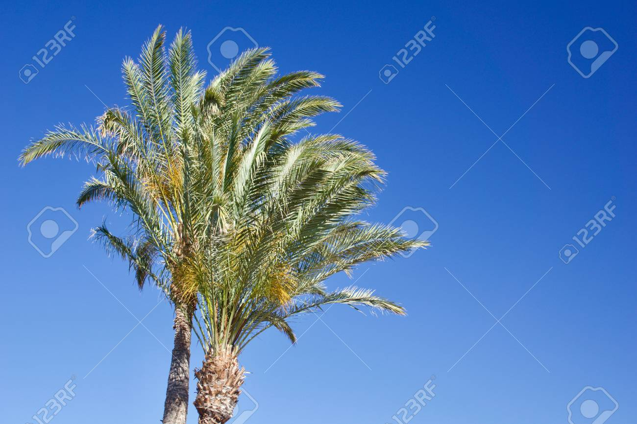 Two isolated date palm trees against blue sky with copyspace for text for example as background for a postcard - 83727117