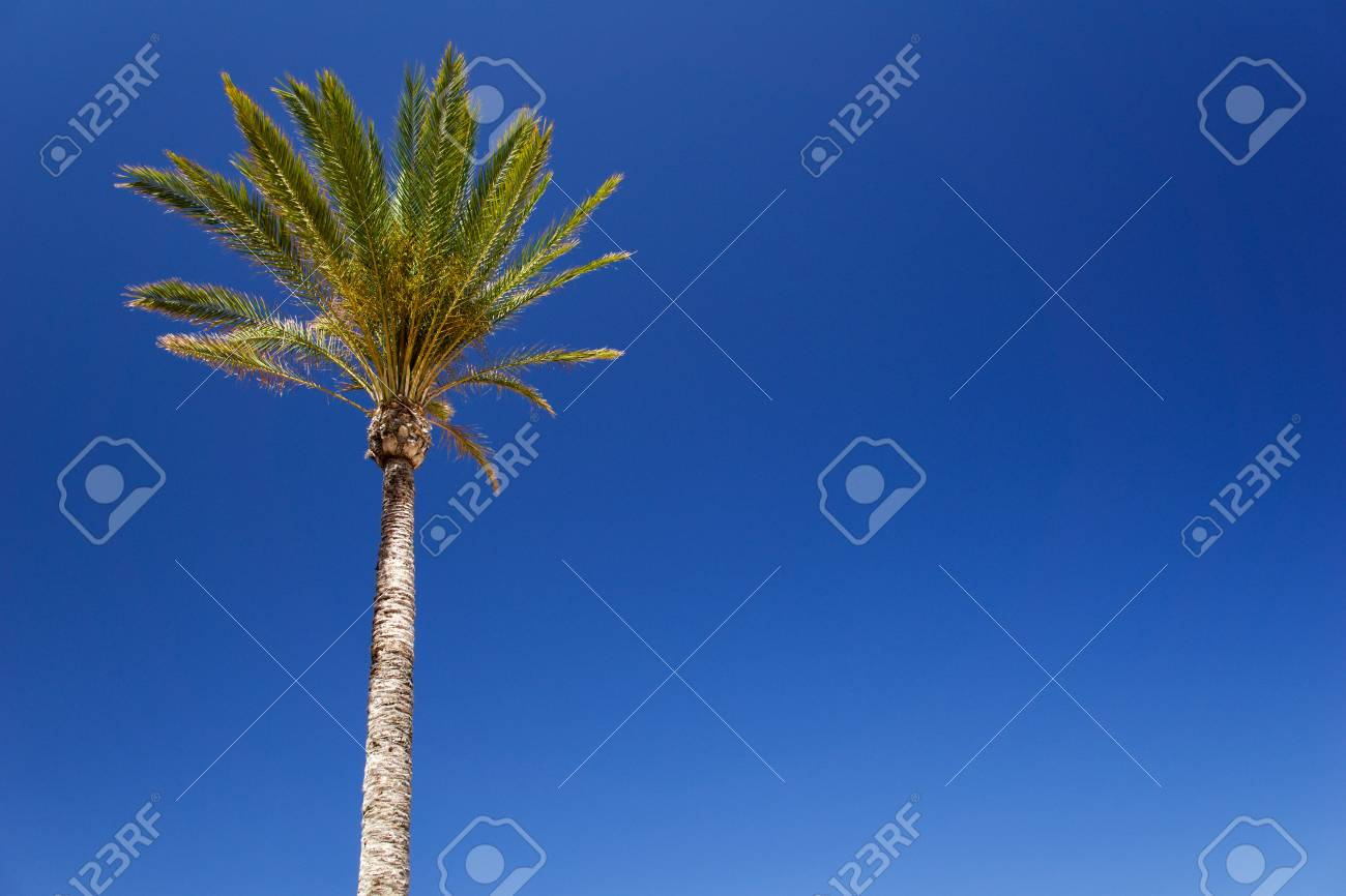Isolated date palm tree against blue sky with copyspace for text for example as background for a postcard - 83727122
