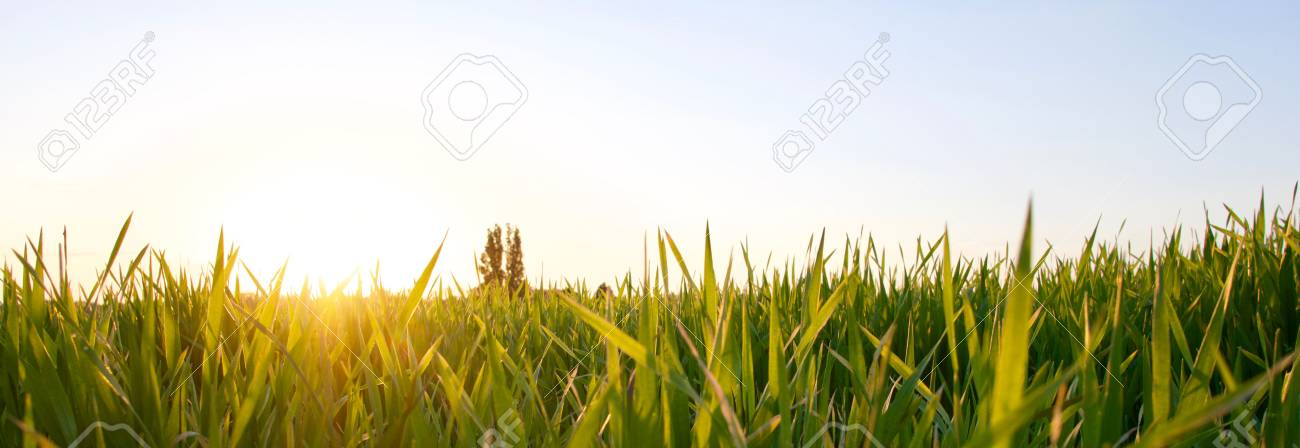 Grass on the field during sunset. Agricultural landscape in the summer time - 83716259