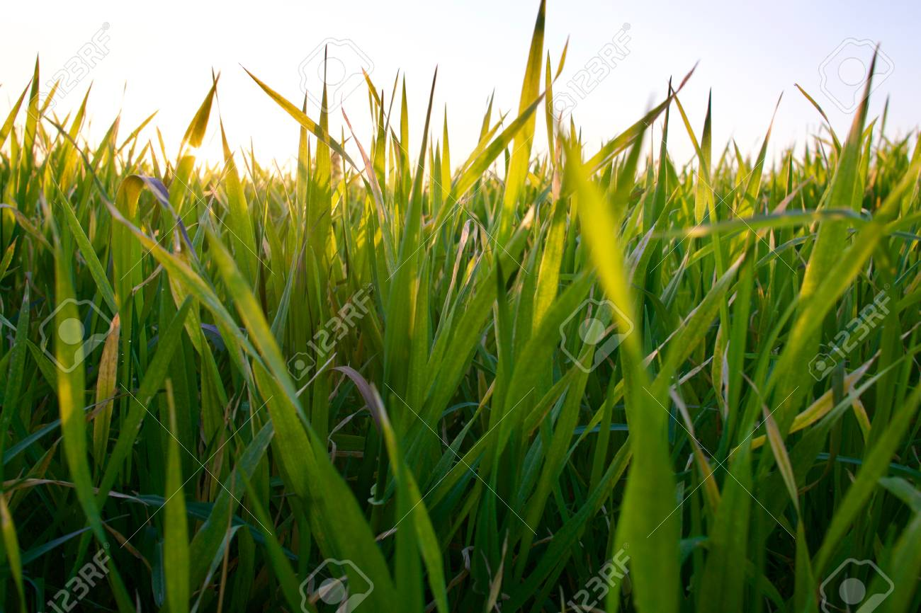 Grass on the field during sunset. Agricultural landscape in the summer time - 83716255