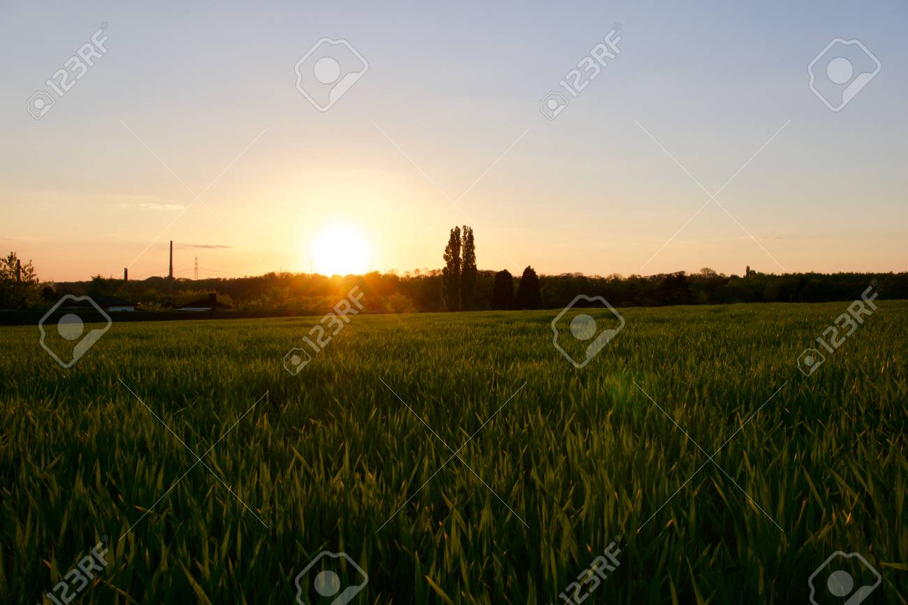 Grass on the field during sunset. Agricultural landscape in the summer time - 83673592
