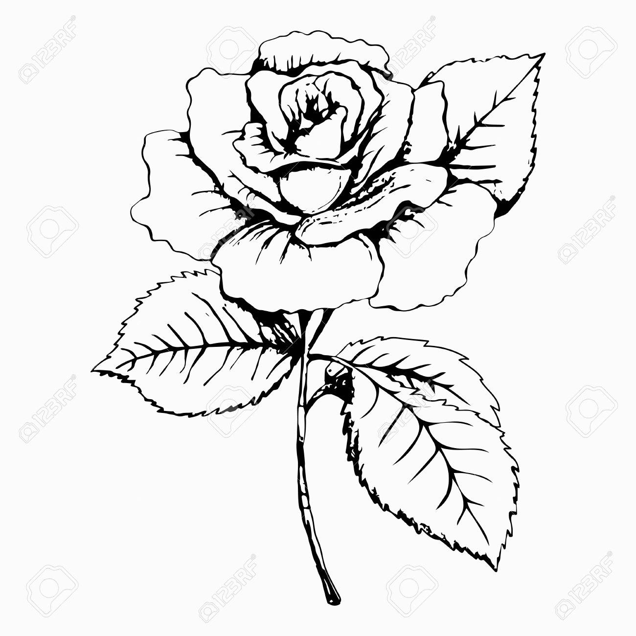 Fleur Rose Croquis Peinture Dessin A Main Levee Bourgeon Blanc