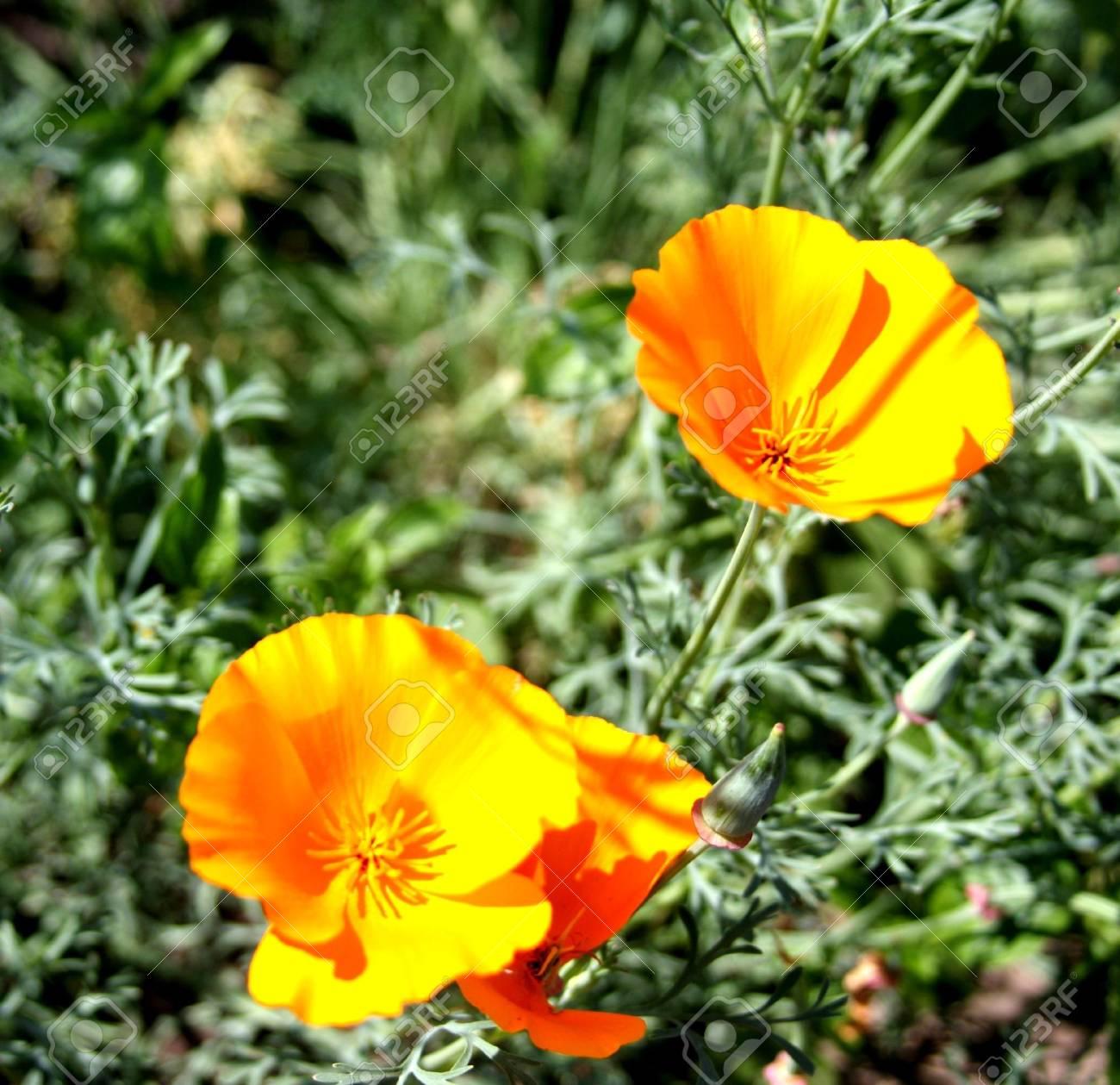 California poppy Stock Photo - 7932776