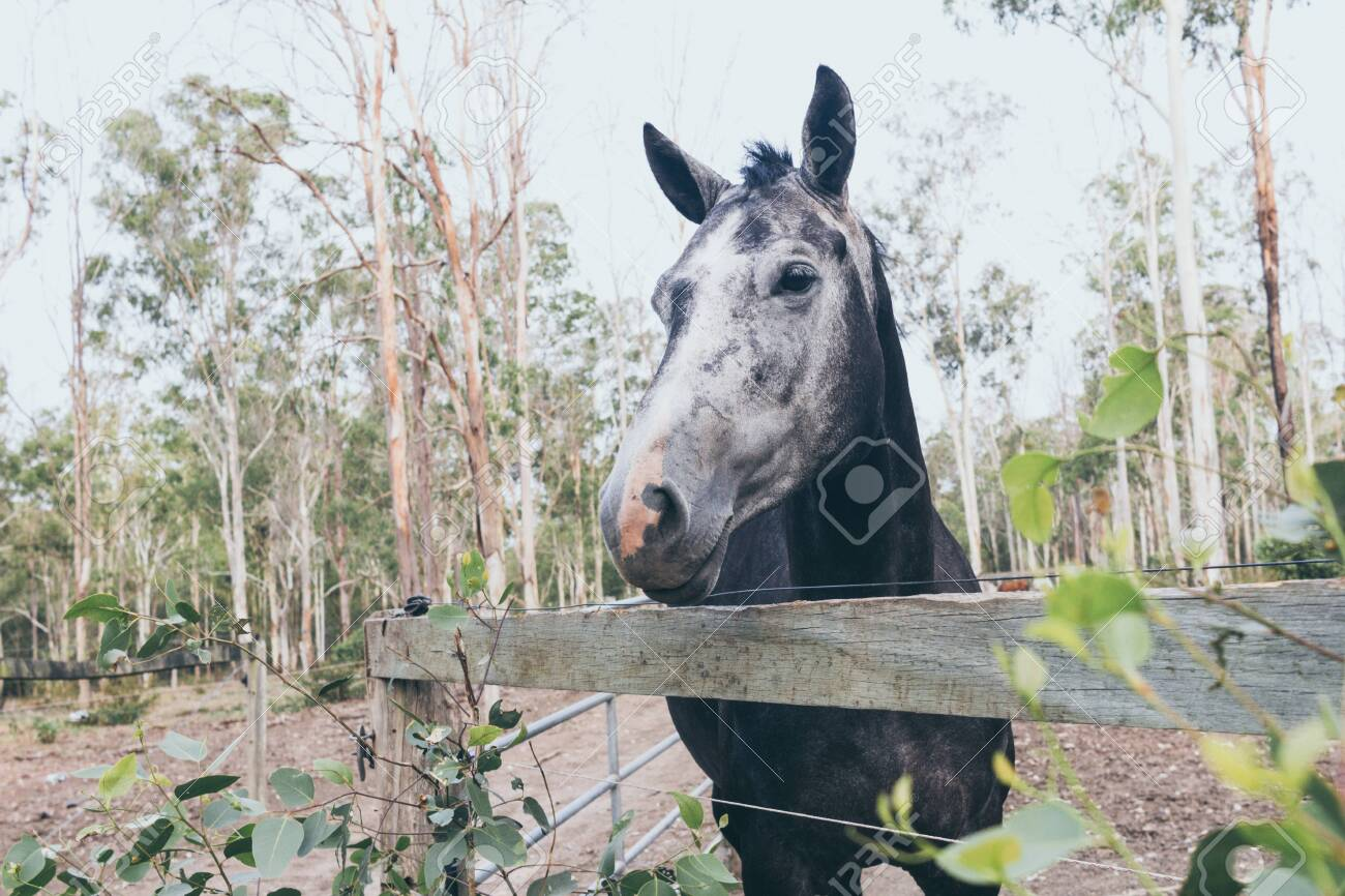 Beautiful Black Horse With White Stain On The Forehead On Wild Stock Photo Picture And Royalty Free Image Image 142264750