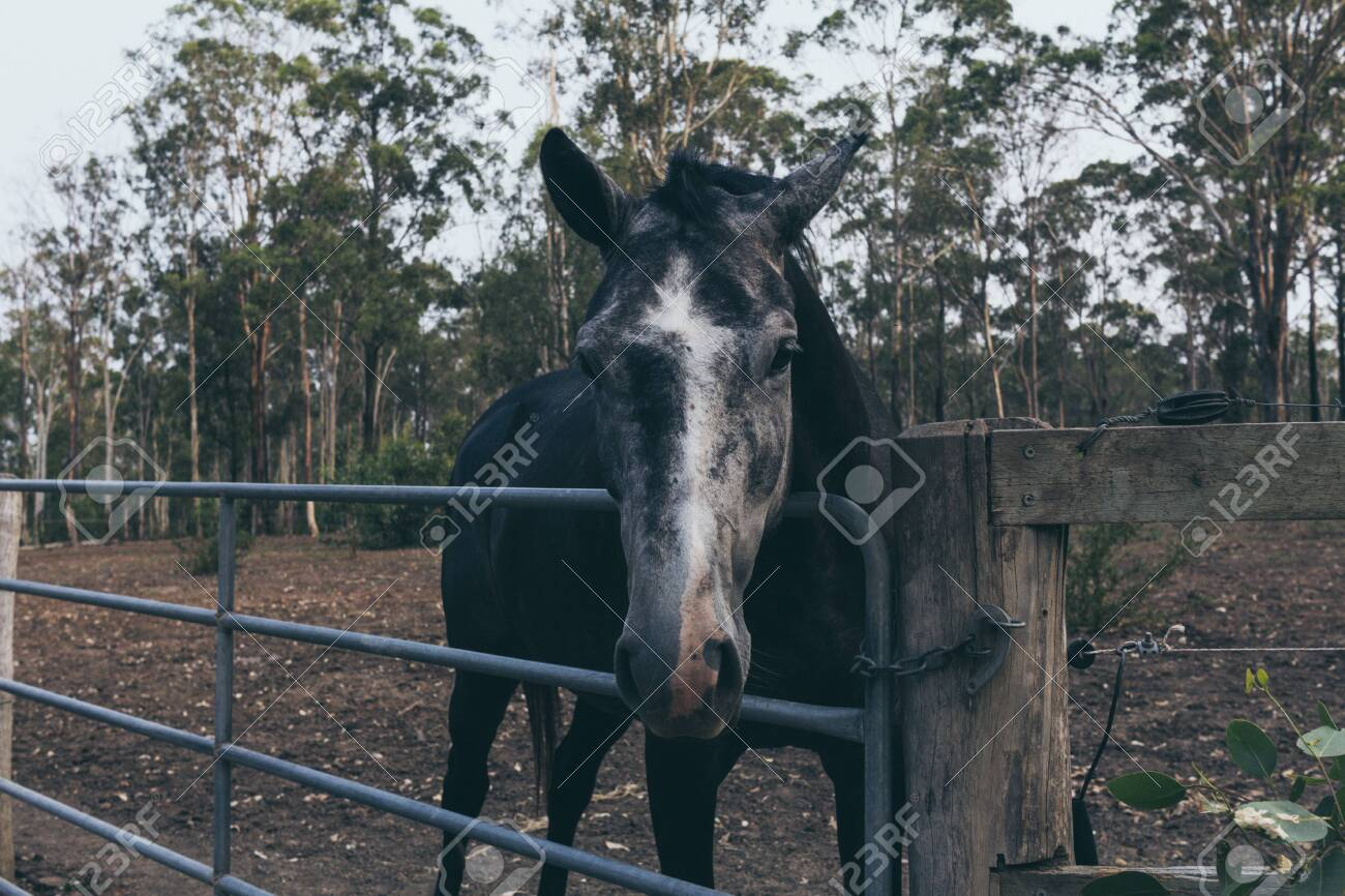 Beautiful Black Horse With White Stain On The Forehead On Wild Stock Photo Picture And Royalty Free Image Image 142264662