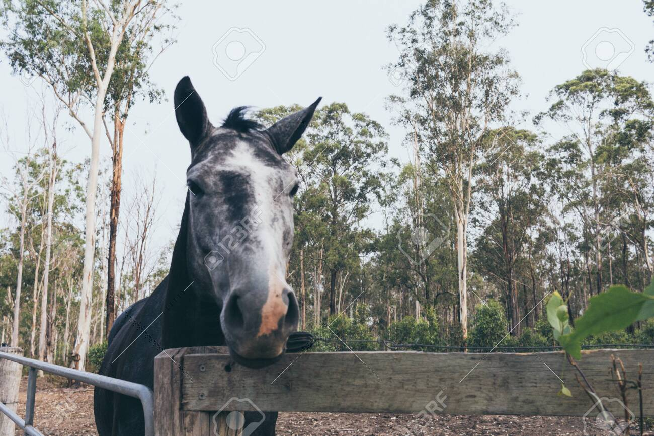Beautiful Black Horse With White Stain On The Forehead On Wild Stock Photo Picture And Royalty Free Image Image 142264711