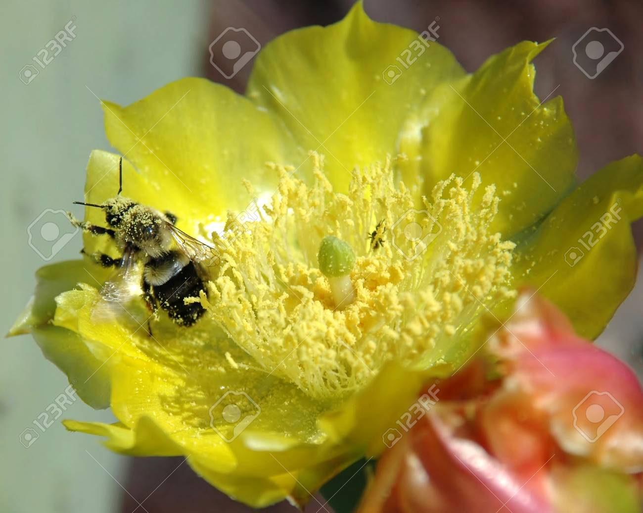 Yellow Cactus Flower With Bumble Bee Stock Photo Picture And