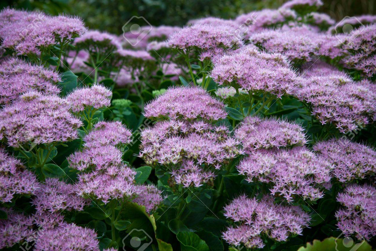 clumps of small purple flowers stock photo, picture and royalty, Beautiful flower