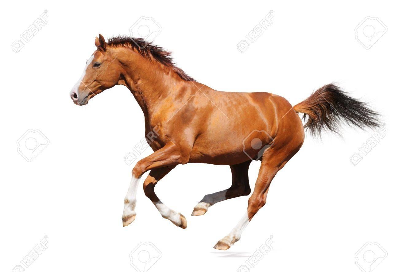 Sorrel trakehner stallion isolated on white Stock Photo - 9912921
