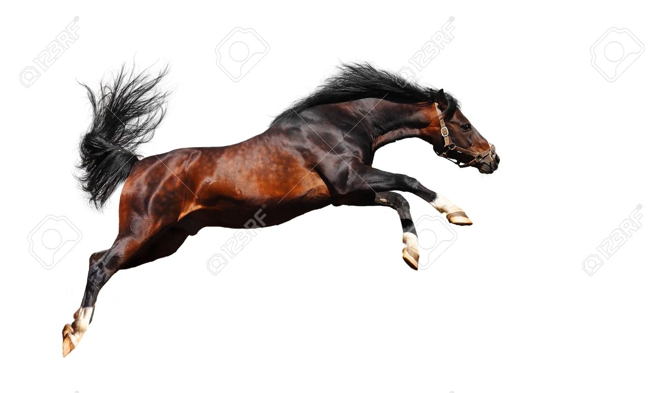 Arabian Horse Jumps Isolated On White Stock Photo Picture And Royalty Free Image Image 10022343