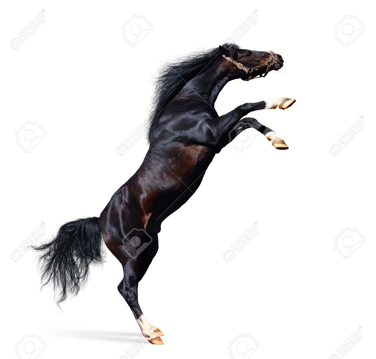 Arabian Horse Rears Isolated On White Stock Photo Picture And Royalty Free Image Image 10022341
