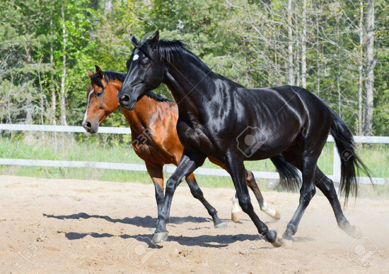 Bay stallion of Ukrainian riding breed and black stallion of Russian riding breed Stock Photo - 17854697