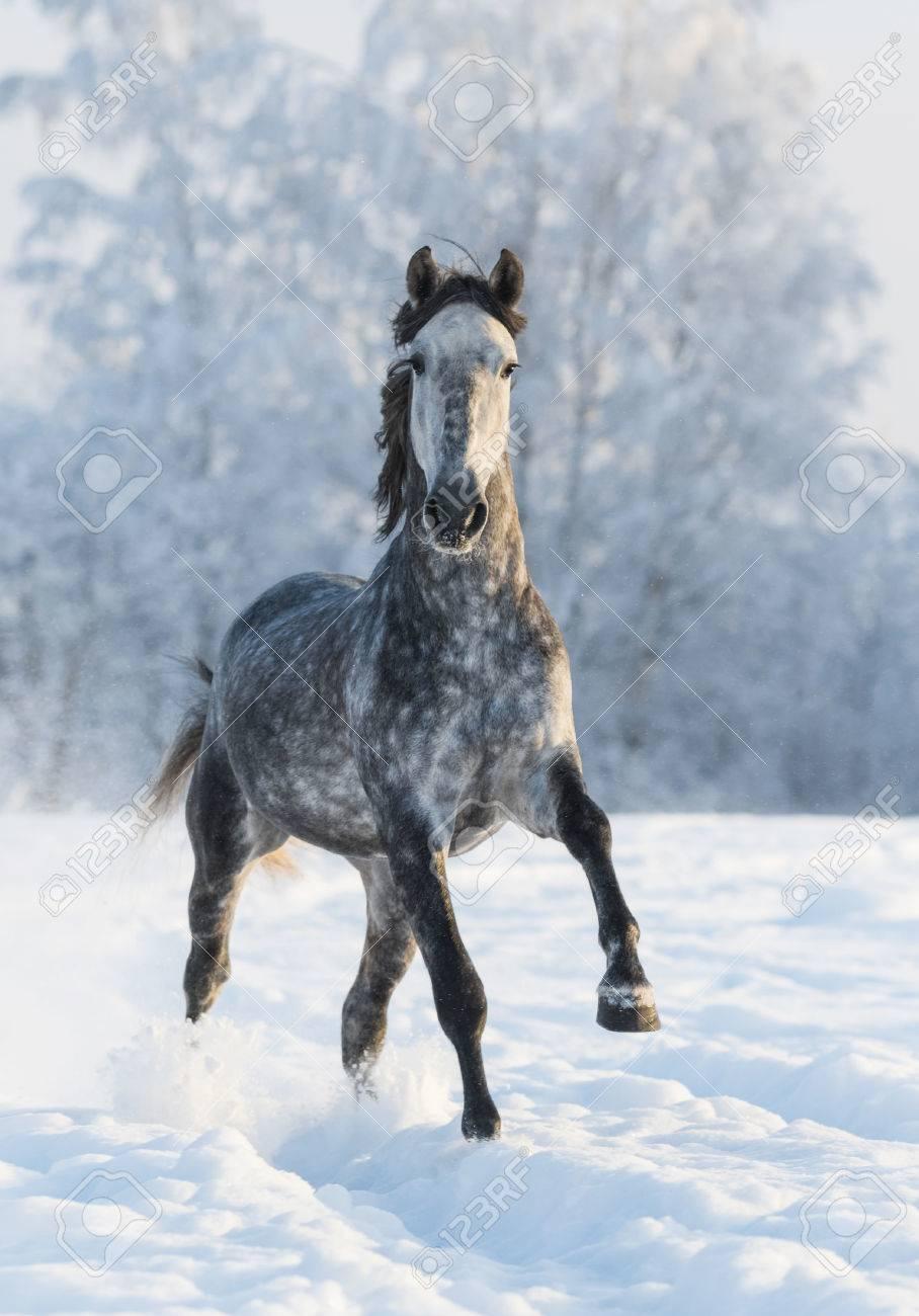 dapple grey horse run gallop in winter stock photo picture and