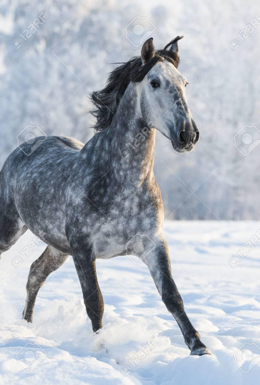 dapple grey spanish horse run gallop in winter stock photo picture