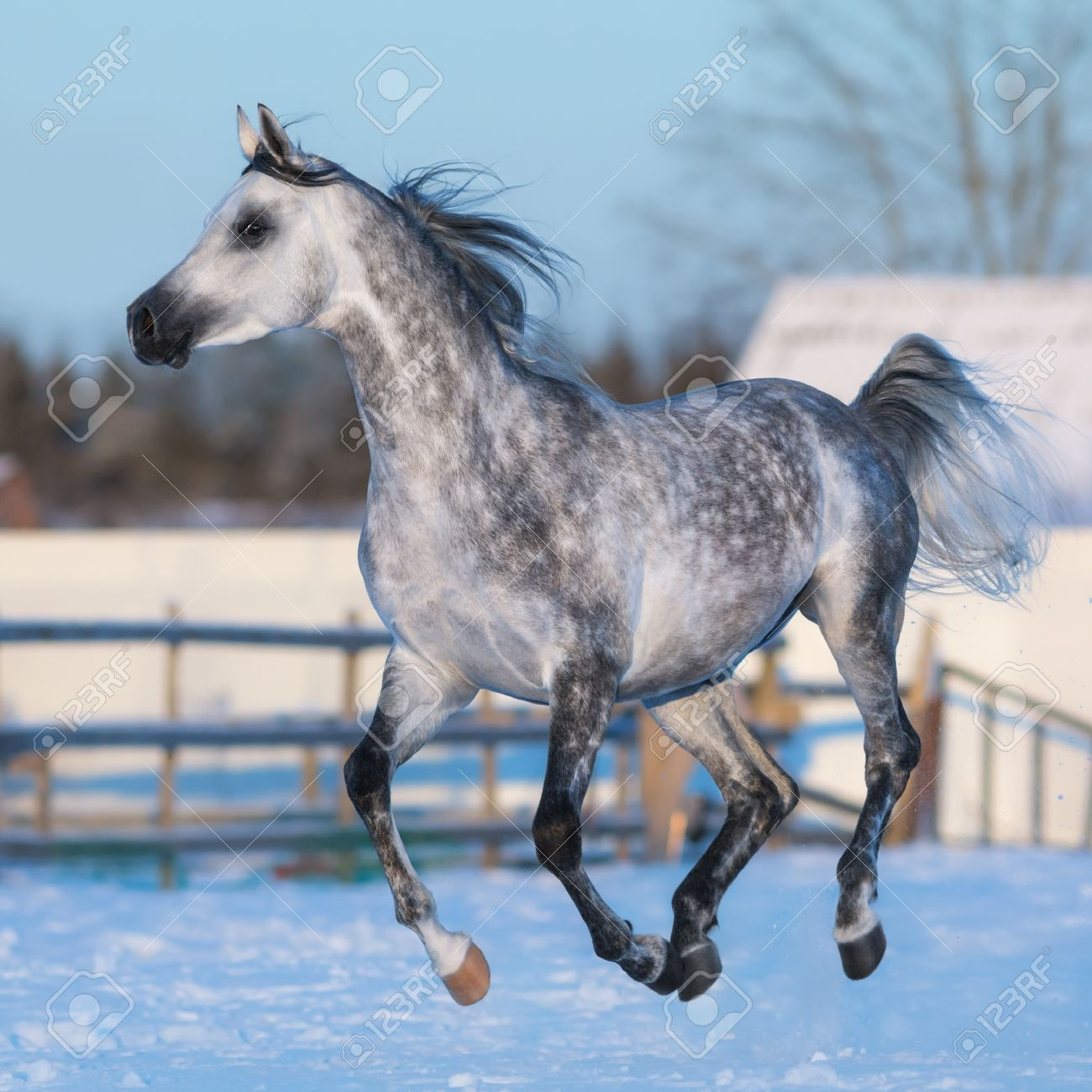 Dapple Grey Stallion Of Arabian Breed Galloping On Snow Meadow Stock Photo Picture And Royalty Free Image Image 52443986