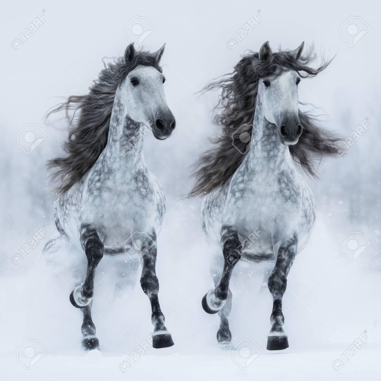 Two dapple-grey long-maned Andalusian horses run gallop across..