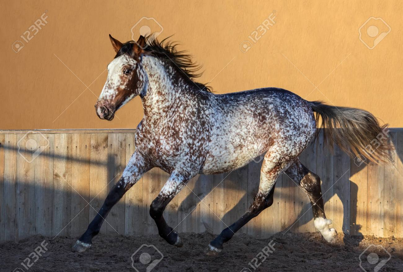 Beautiful Rare Unique Color Appaloosa Crossbreed Between Appaloosa Stock Photo Picture And Royalty Free Image Image 113632102
