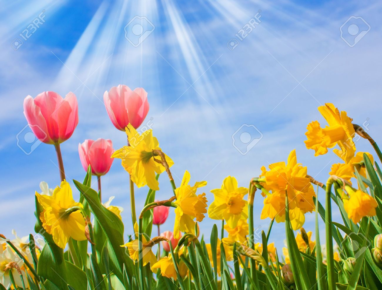 Nice blossom of spring, tulips, narciss on blue sky Stock Photo - 9316551