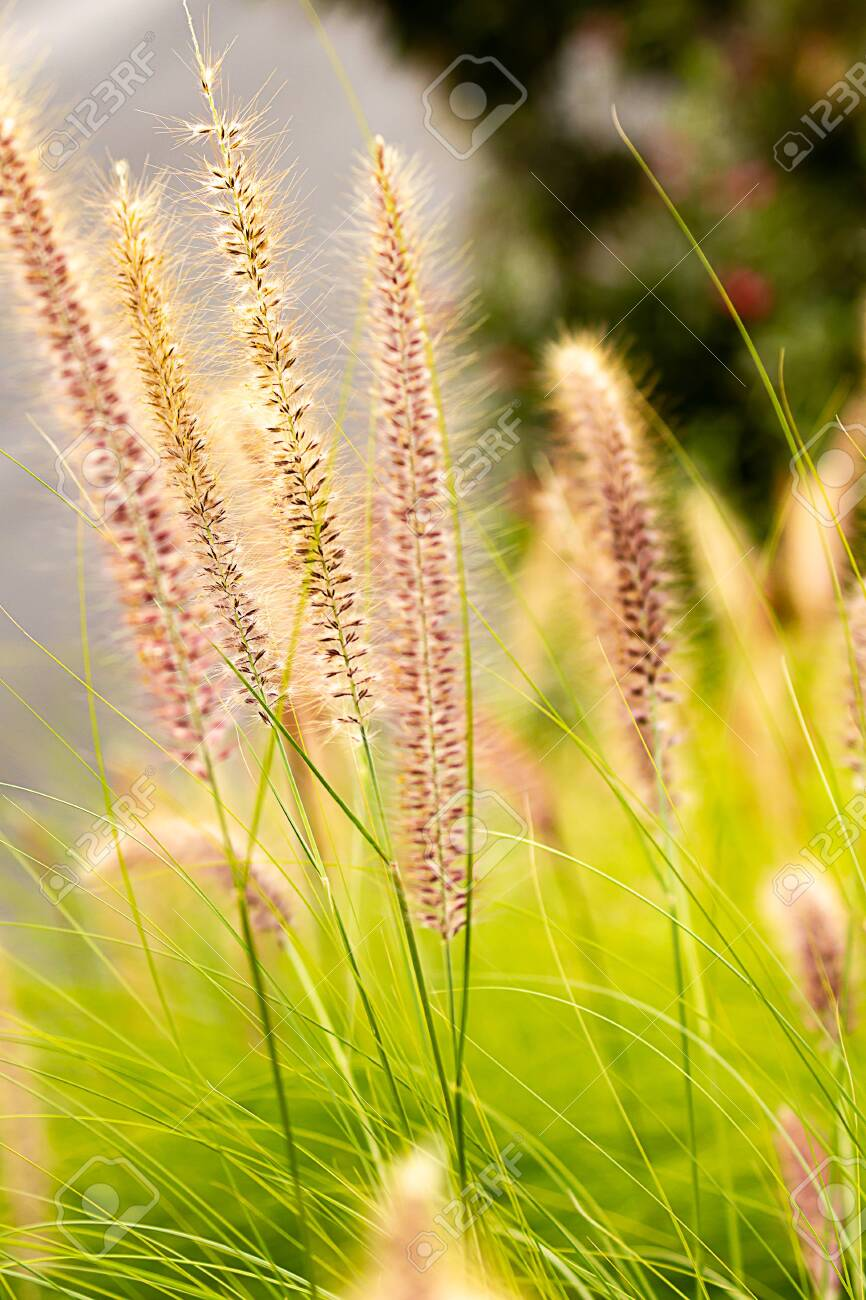 Penniselum Grass In Red Or Purple Ornamental Grass Stock Photo