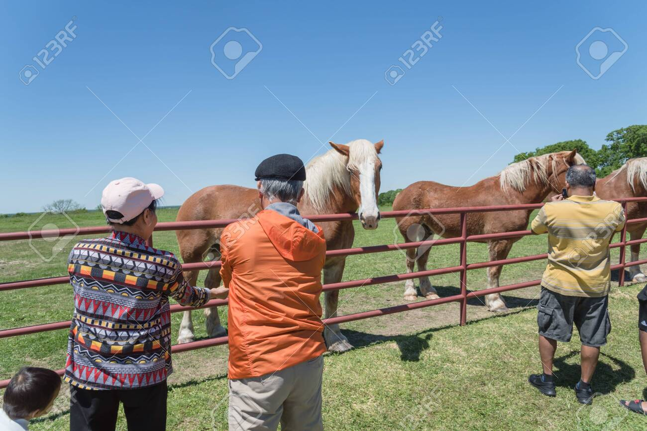 Back Of Senior Asian People Feeding Belgian Heavy Horse At Farm Stock Photo Picture And Royalty Free Image Image 121567382