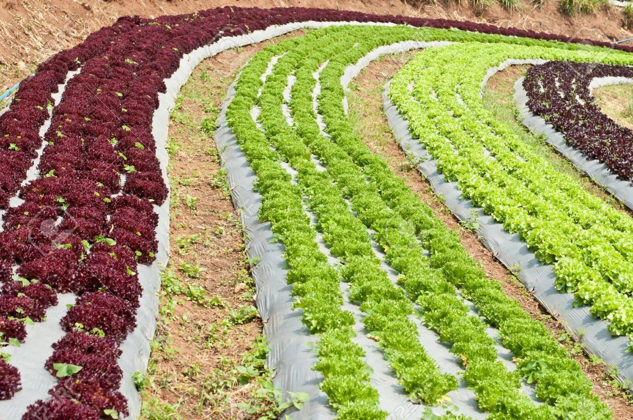 Vegetable garden rows - Growing Lettuce In Rows In The Vegetable Garden Stock Photo 12933341