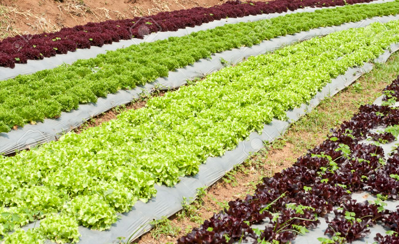 Growing Lettuce In Rows In The Vegetable Garden Stock Photo Picture