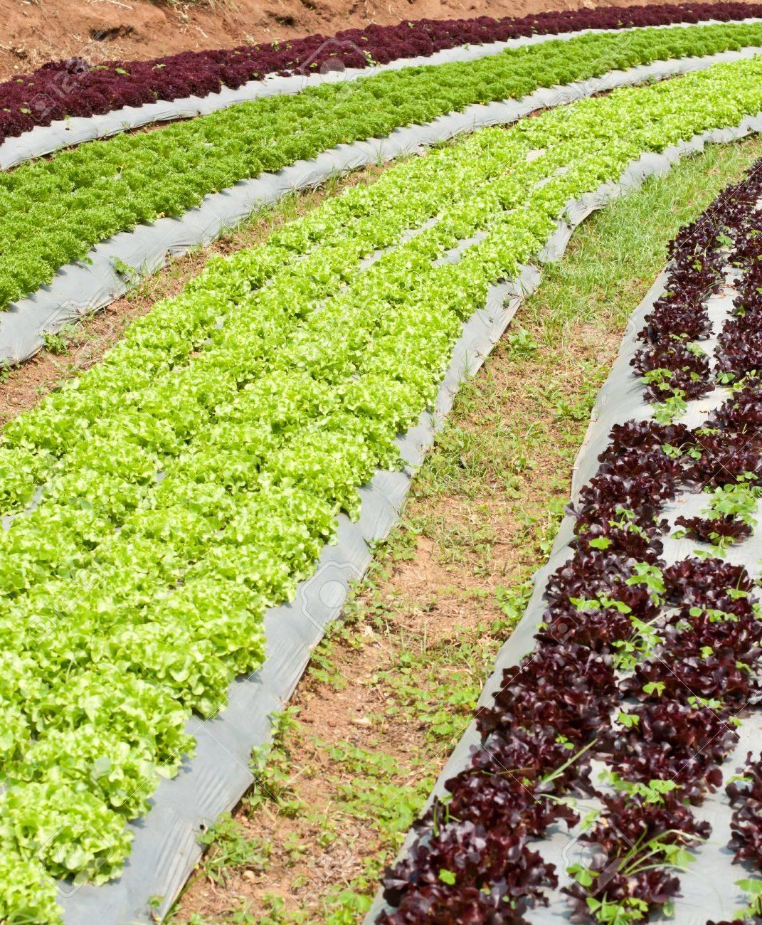 Vegetable garden rows - Growing Lettuce In Rows In The Vegetable Garden Stock Photo 12933334