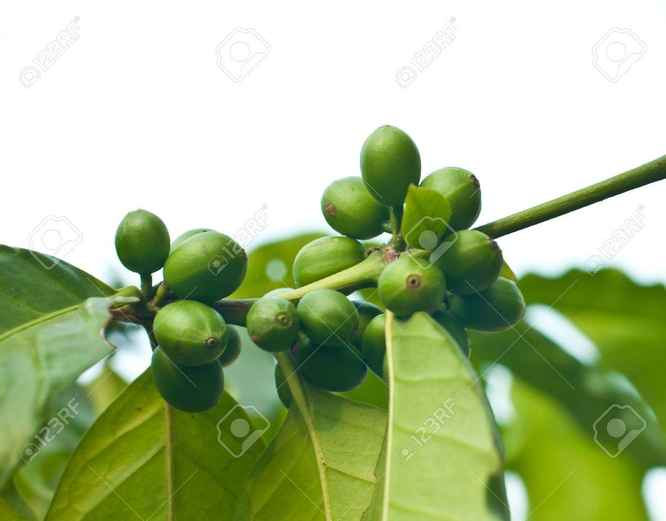 Unripe coffee beans on coffee tree. Stock Photo - 13278548