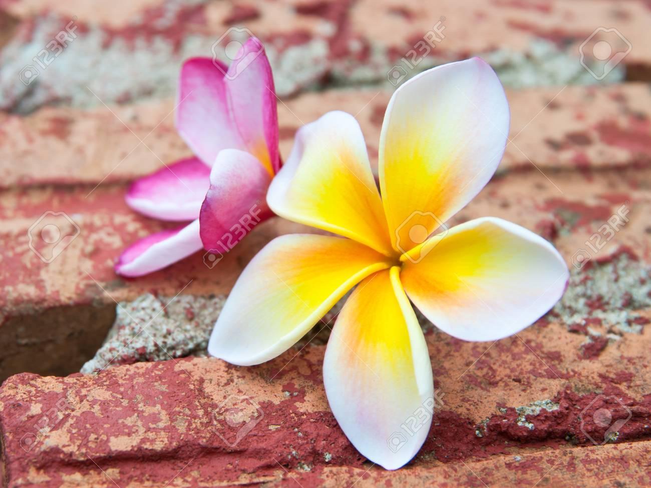 Frangipani tropical flowers on brick. Stock Photo - 14153231