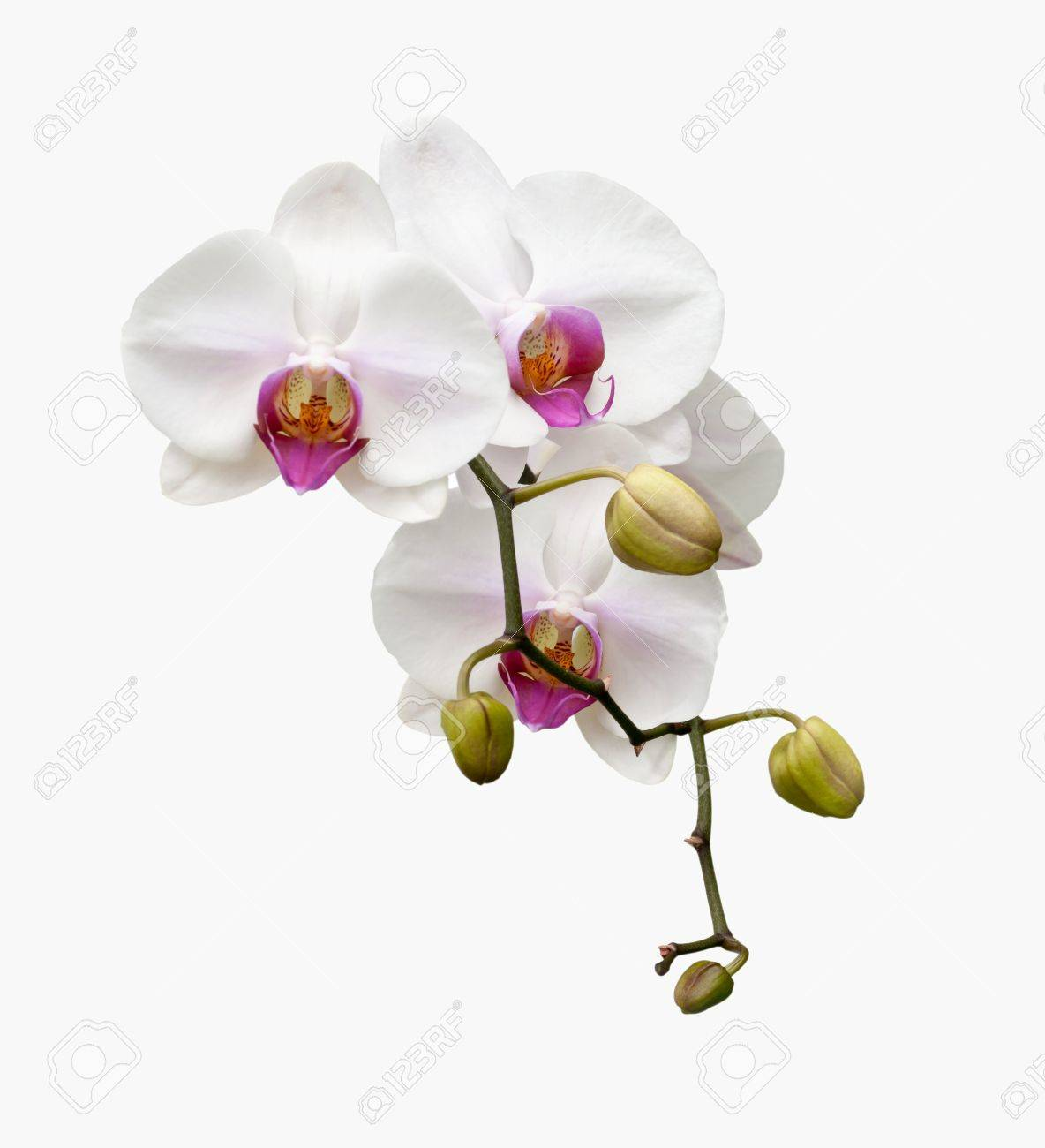 Beautiful white orchid blooming on the white background - 14736788