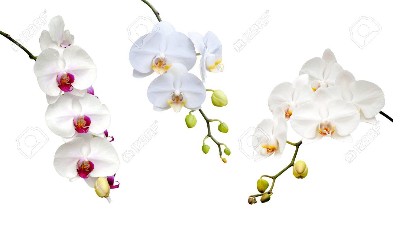 Beautiful white orchid blooming on the white background. - 19790926