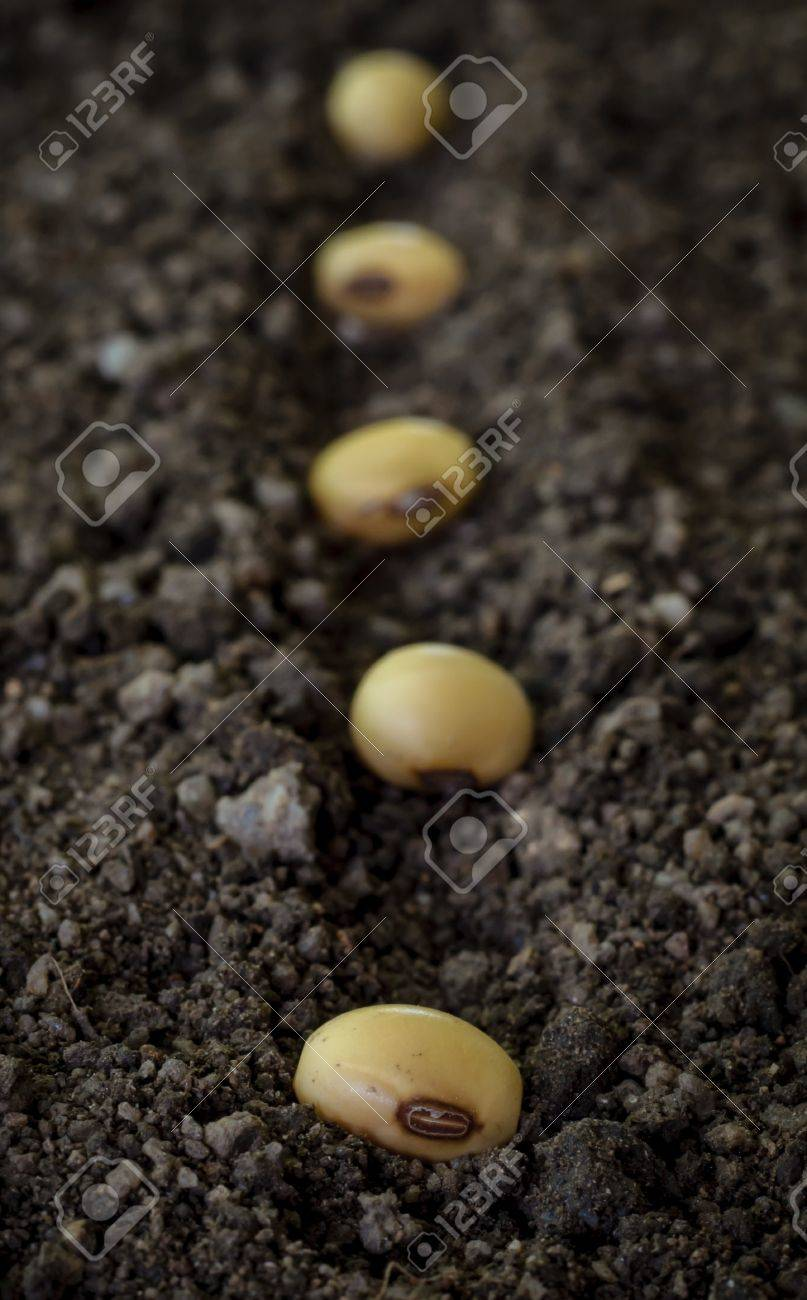 seedling of soybean in the ground - 20468493