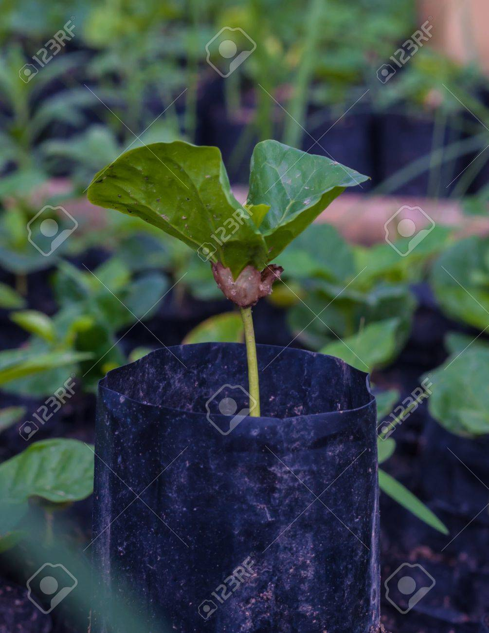coffee sprout growing from seedling in Plant nurseries. - 20589039
