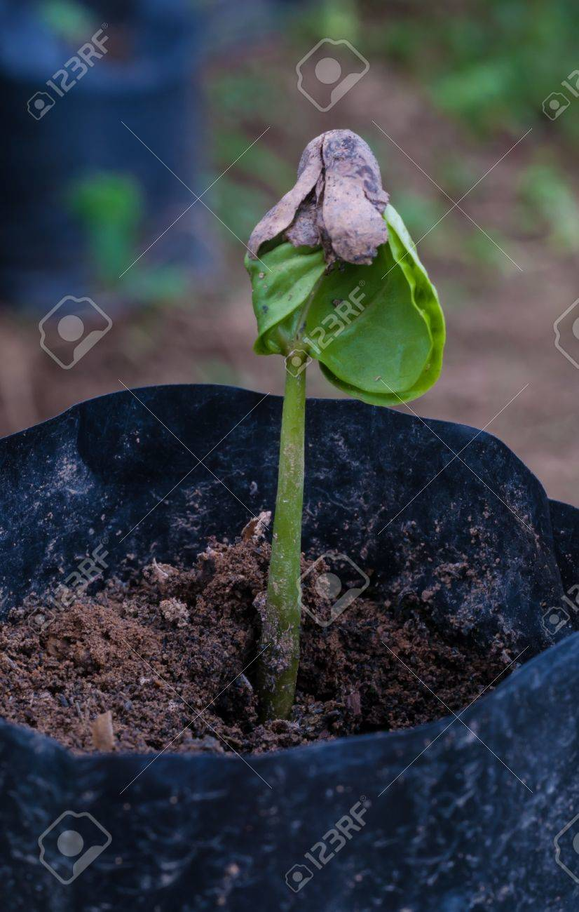 coffee sprout growing from seedling in Plant nurseries. - 20589042