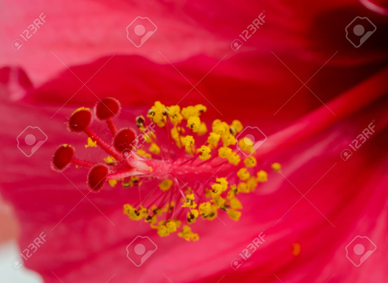 Close up of Hibiscus rosa sinensis  flower . Stock Photo - 23031863