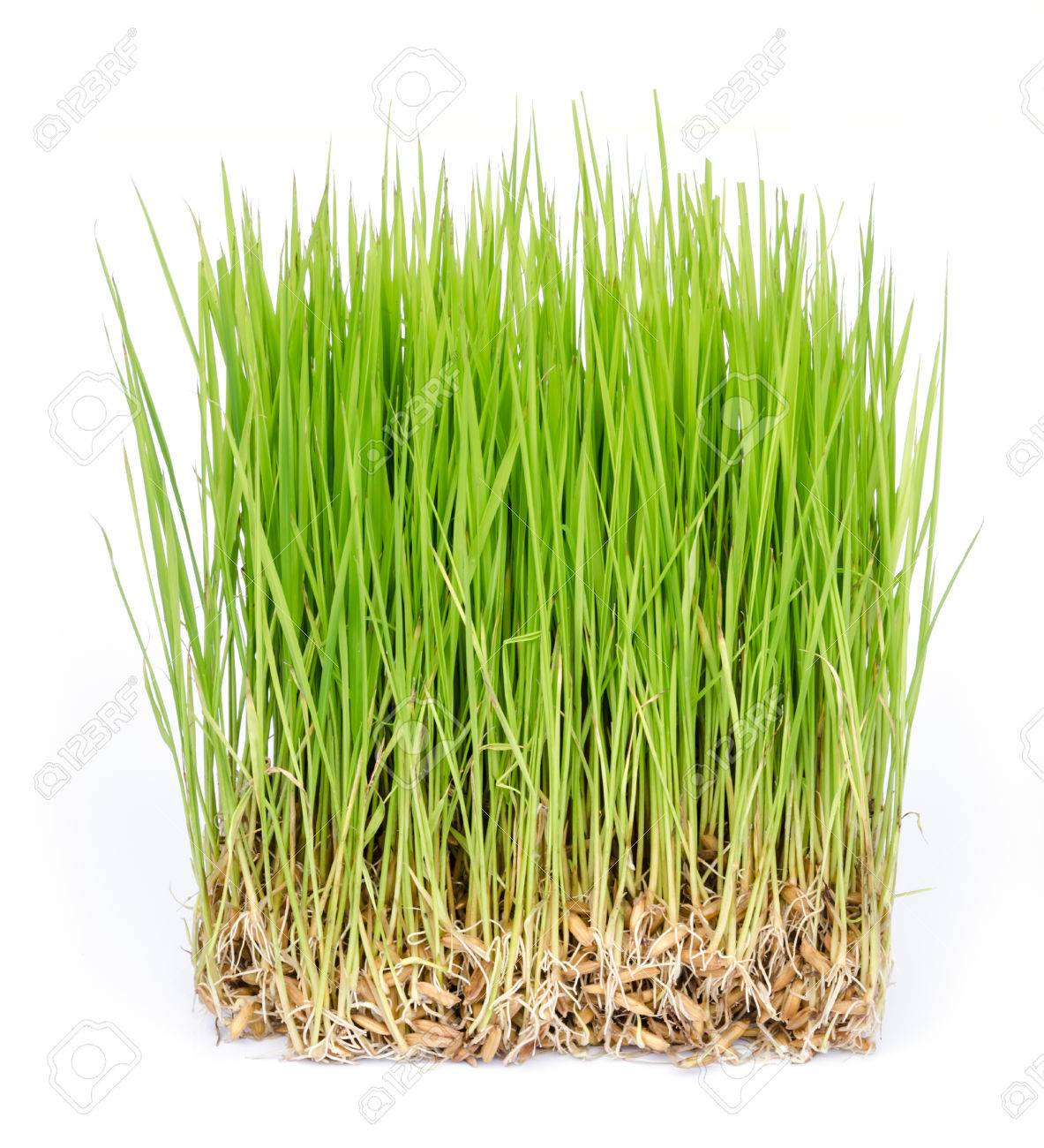 close up of rice sprouts growing from seeds. - 28027784