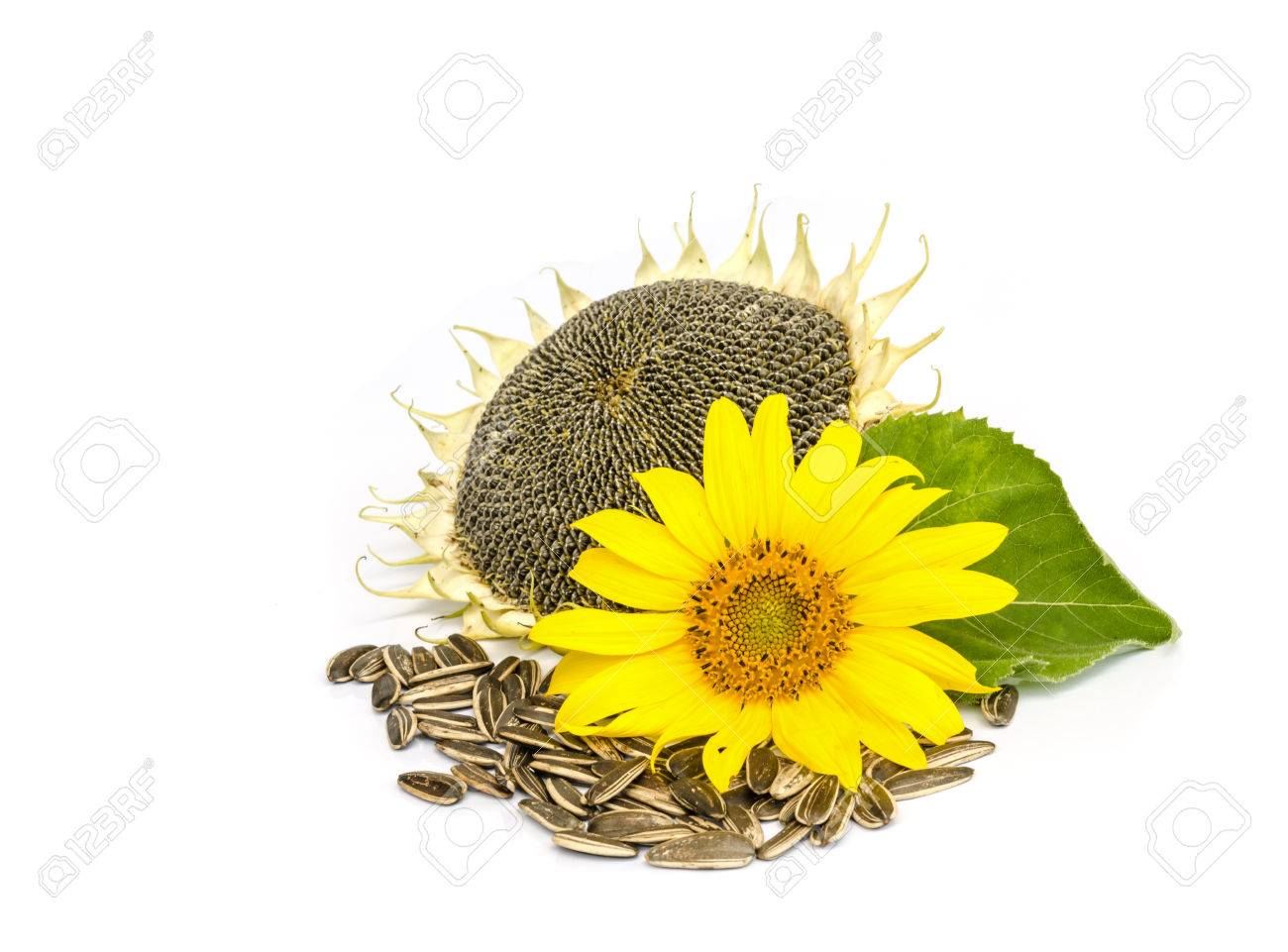 sunflower with seed isolated on white background. - 41294918