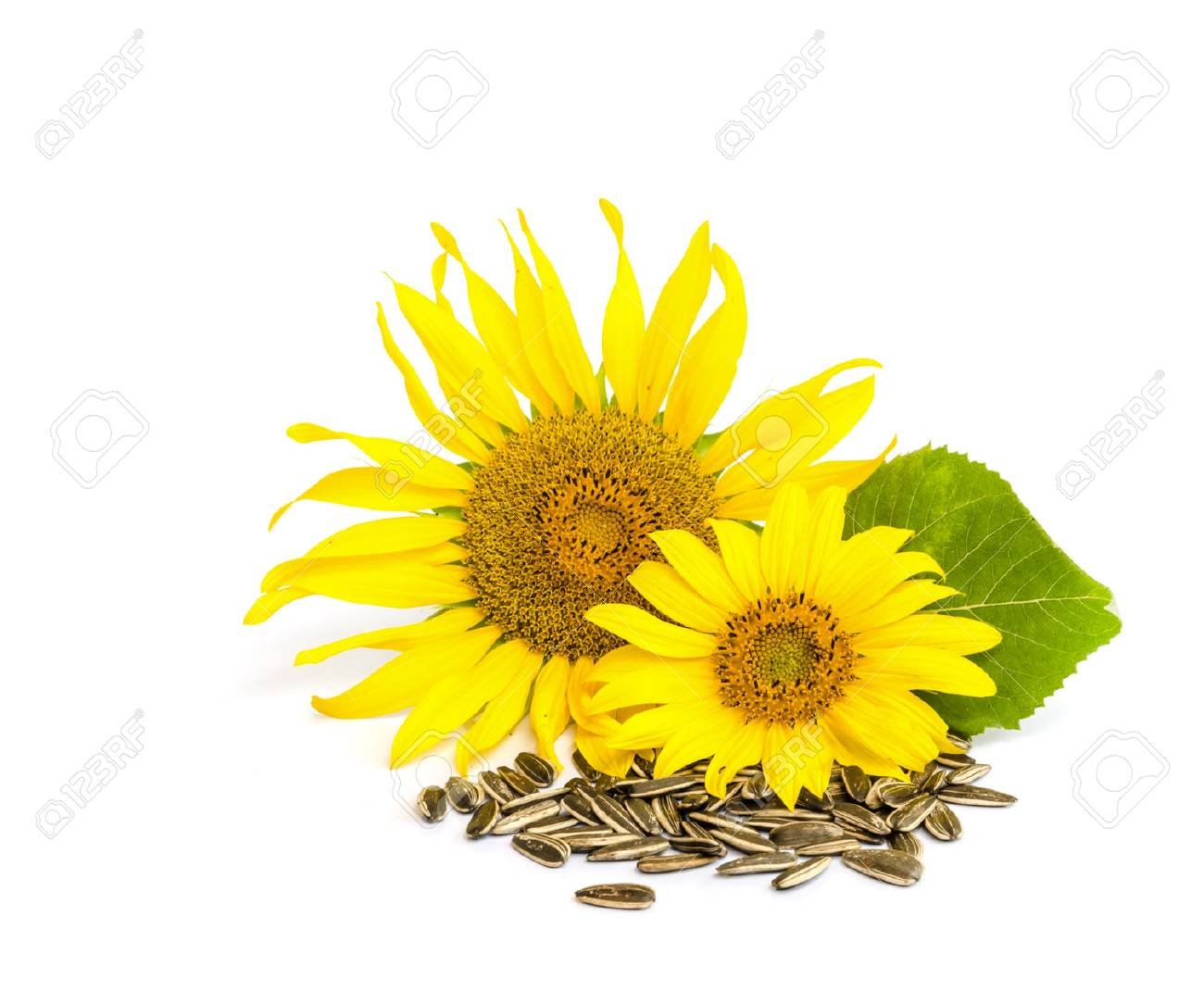 sunflower with seed isolated on white background. - 41294962