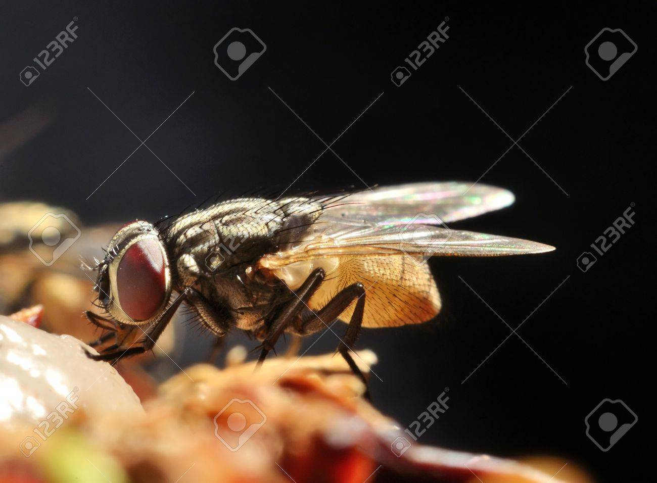 fly close up or macro with dark background Stock Photo - 15475887