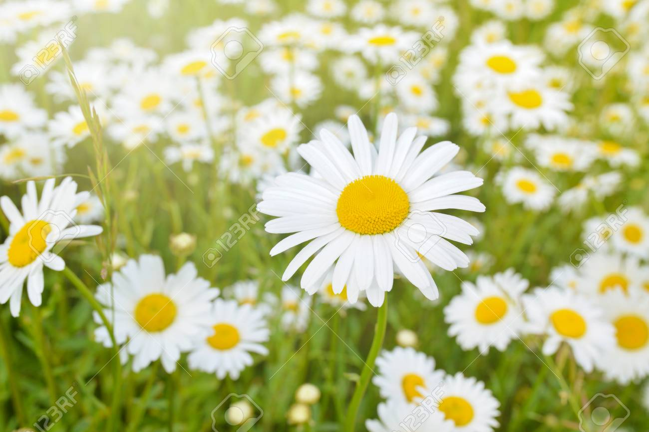Brightly colored chamomile flowers daisies on blurred meadow brightly colored chamomile flowers daisies on blurred meadow background at sunny day stock photo izmirmasajfo