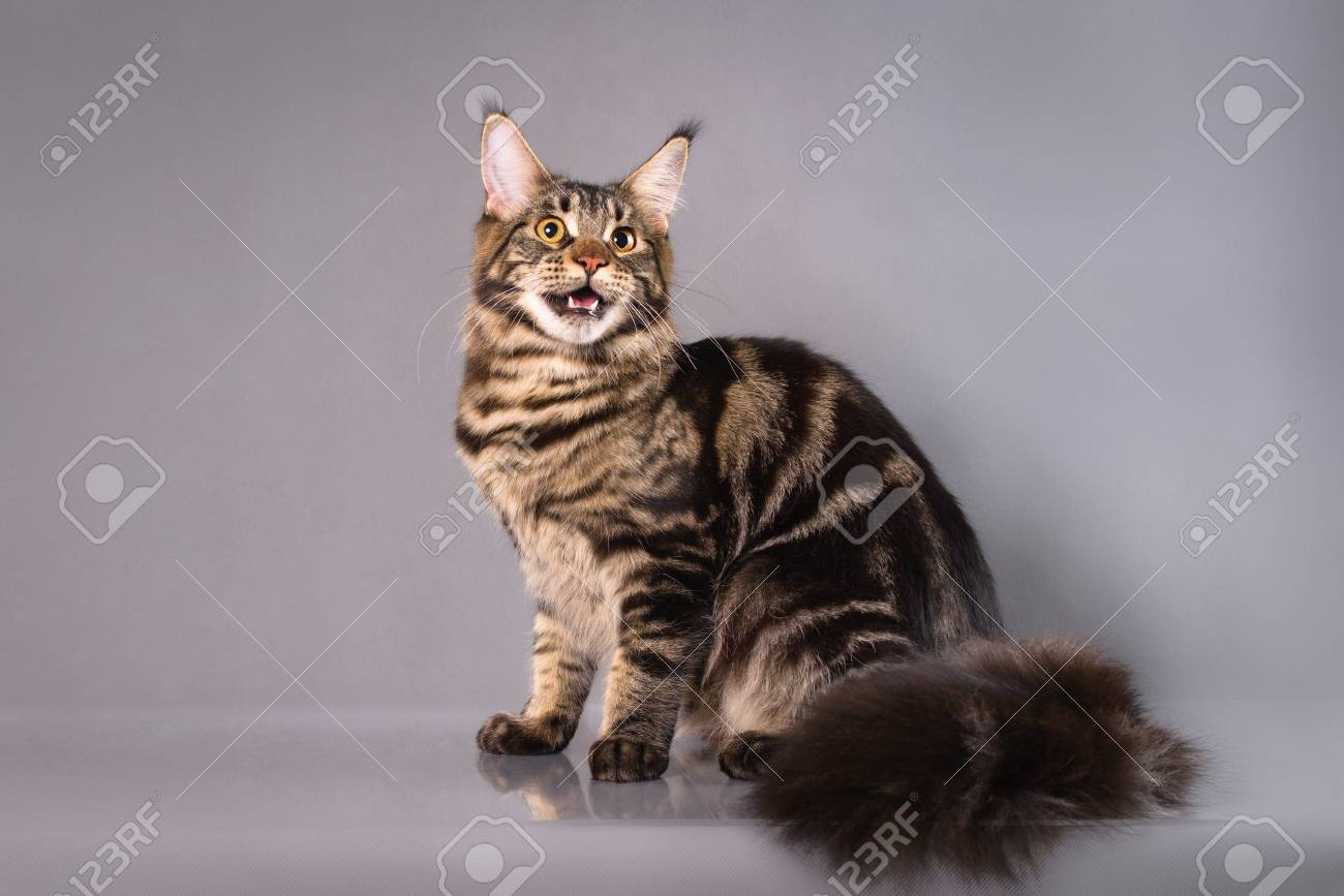 Brown Classic Torbie Maine Coon Cat Sitting On Grey Background ...
