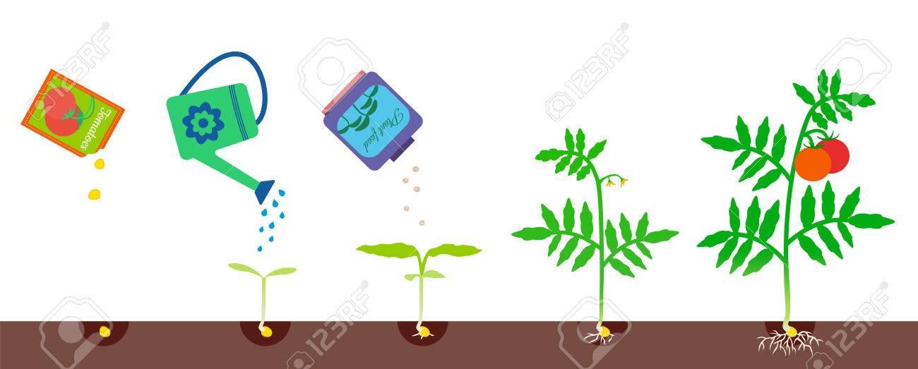 Illustration Vectorielle De La Croissance Des Plantes étapes De Croissance De La Tomate Processus De Jardinage