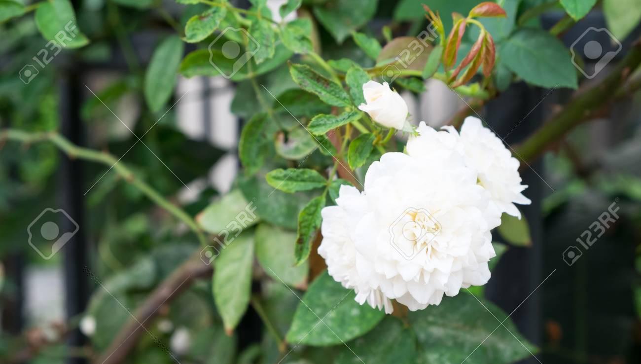 weiße rose bedeutung blume