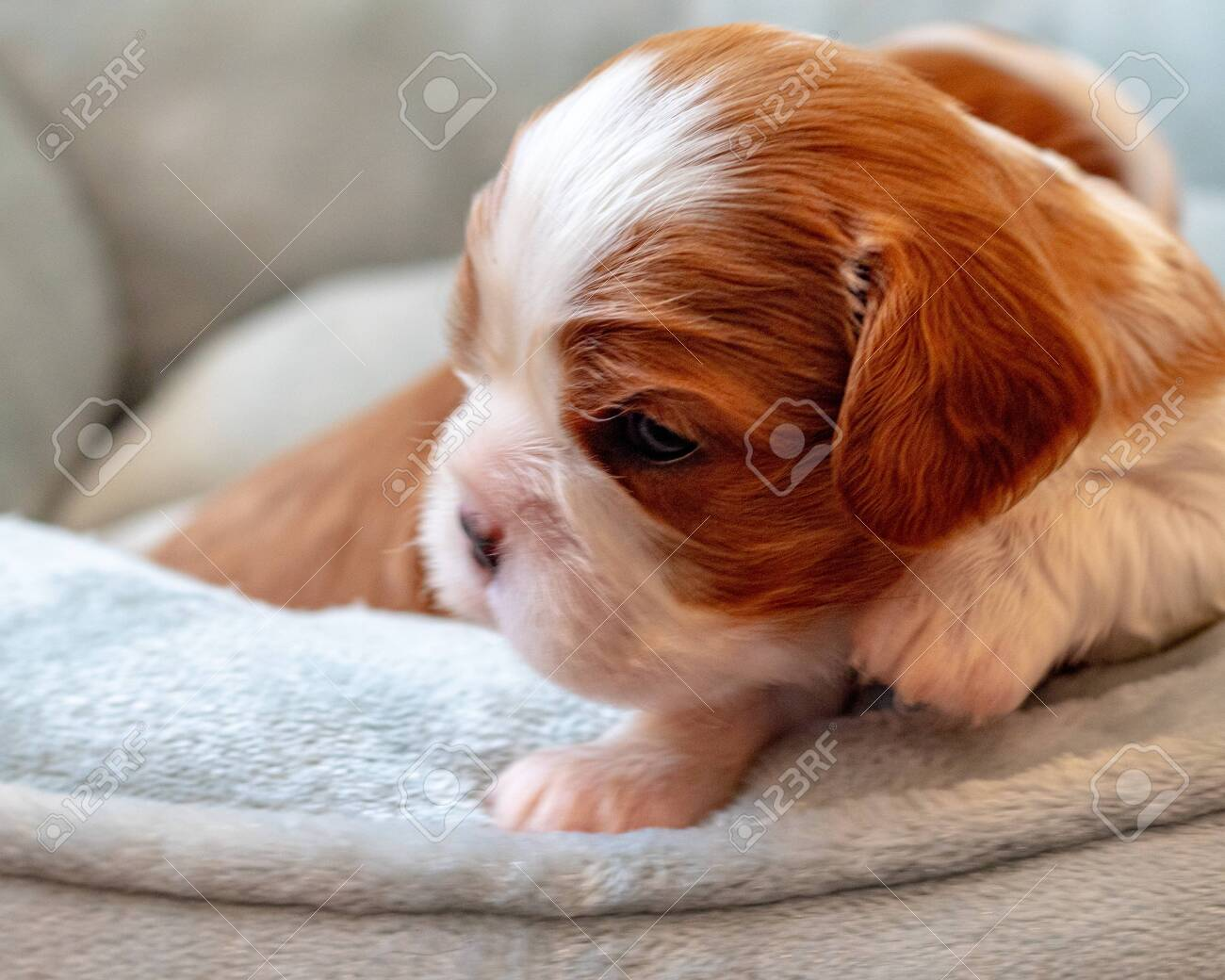 A Newborn Cavalier King Charles Spaniel Puppy Perks Its Head Stock Photo Picture And Royalty Free Image Image 136392096