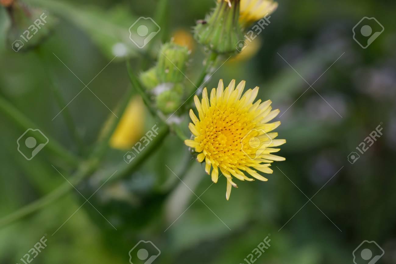 Sow Thistle Sonchus Oleraceus Flower Yellow Little Flower Stock