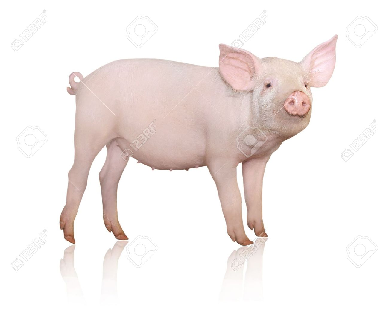 Pig who is represented on a white background Stock Photo - 14361331