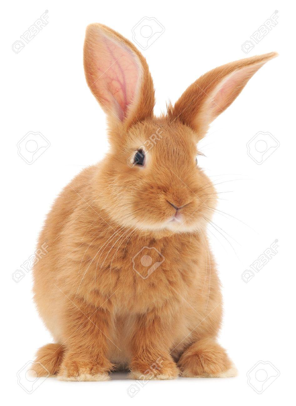 Vecteur d'image d'un lapin brun. Banque d'images - 22547466