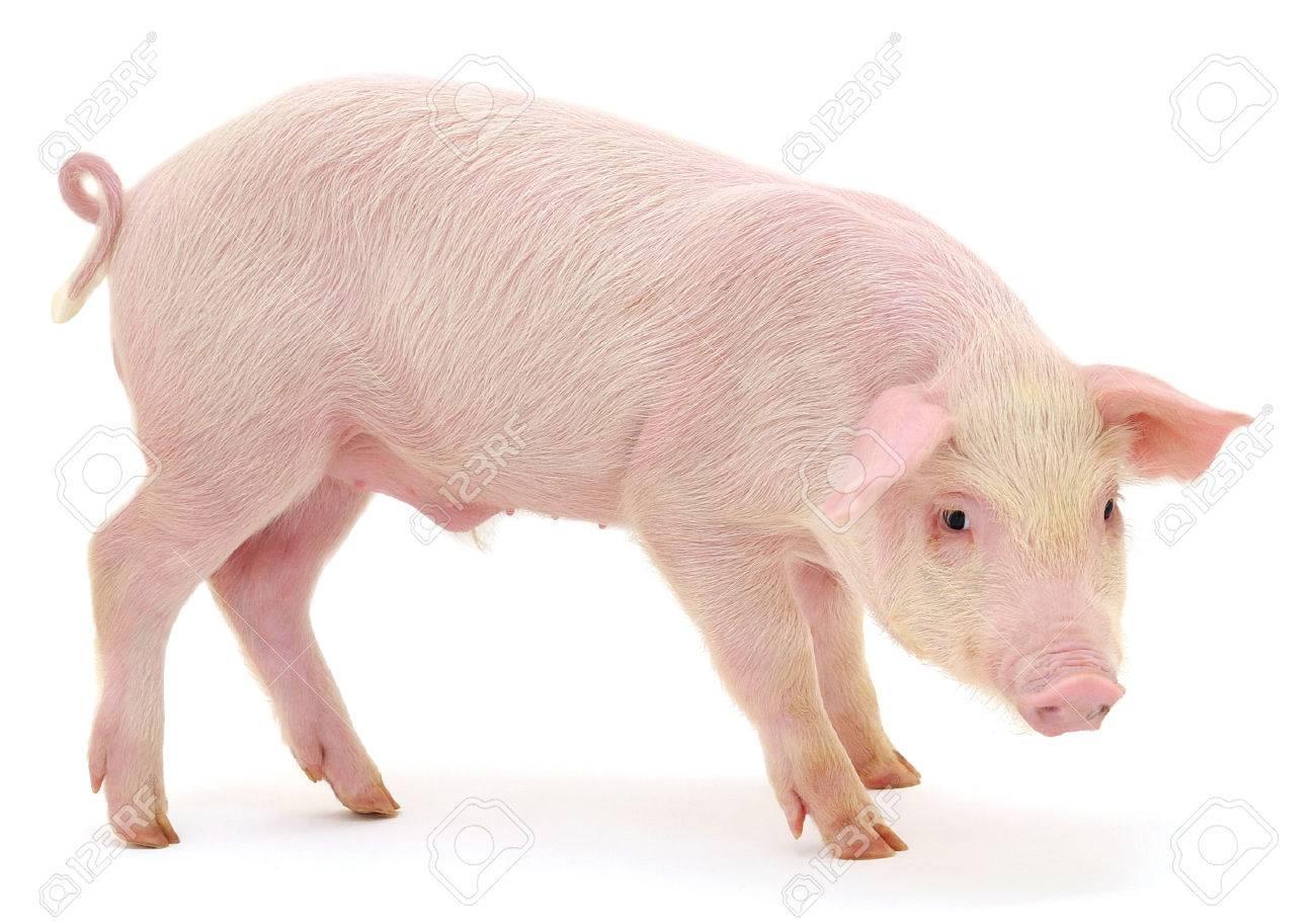 Cochon Image cochon qui est représenté sur un fond blanc banque d'images et